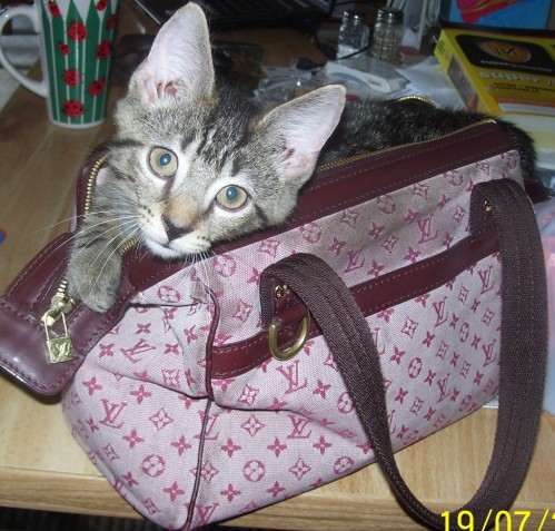 Kitten Has Expensive Taste Likes The Louis Vuitton